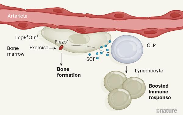 immune cells, stem cell news, boost immune cells, immune bossting, stem cell treatment, stemcells21,