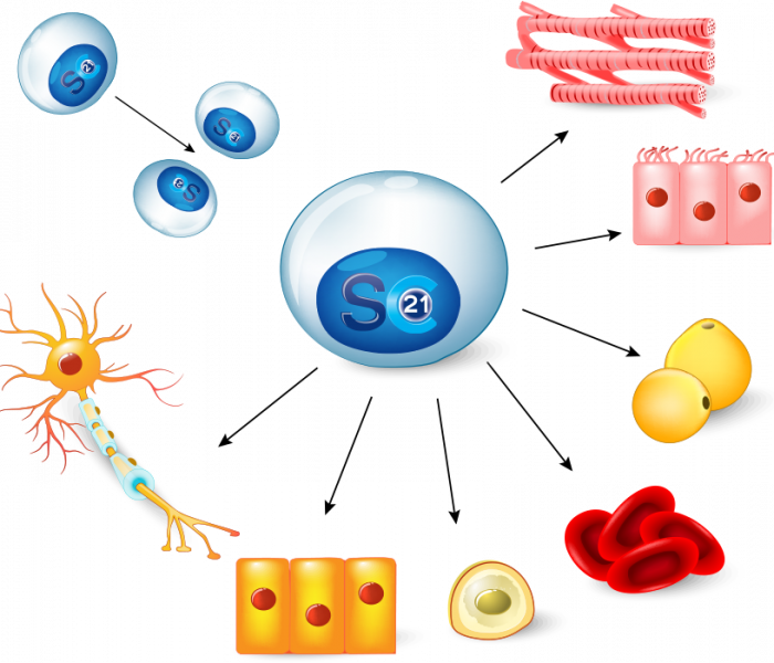 stemcells21-stem-cell-differentiation-1.png